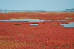 Sangosou (glasswort)