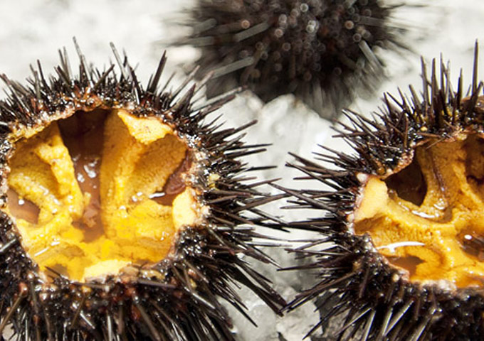 Processing And Sales Of Sea Urchins From Hokkaido Murakami