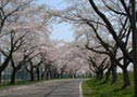 Cheery Blossoms Corridor along Ono River
